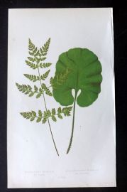 Lowe 1862 Antique Fern Print. Cystopteris Fracilis etc 47